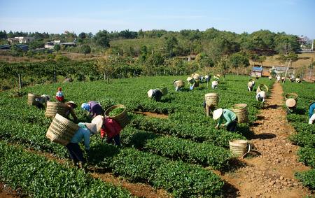 THAI NGUYEN, VIETNAM-  FEB 24: People pick tea leaf on agricultural plantation, tea leave is good, healthy drink, picker working at day, carry basket, pick green leaf to harvest, Vietnam, Feb 24, 2014
