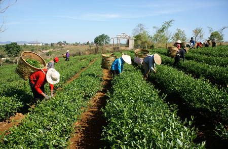 人々 は農業プランテーションに茶葉を拾うタイグエン、ベトナム-2 月 24 日:、茶許可の良いですが、健康ドリンク、1 日で働いてピッカー バスケッ