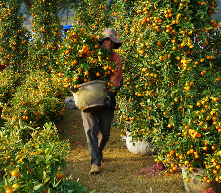 laden: DA LAT, VIET NAM- JAN 26  Vietnamese people carry citrus tree pot for sale, trees laden with bright orange fruits at open air farmer market in springtime, Dalat, Vietnam, Jan 26, 2014 Editorial