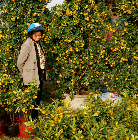 laden: DA LAT, VIET NAM- JAN 26  Vietnamese consumer choice citrus tree pot , trees laden with bright orange fruits at open air farmer market in springtime, Dalat, Vietnam, Jan 26, 2014 Editorial