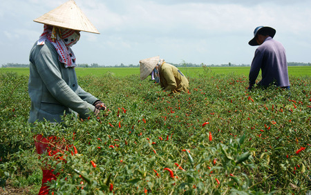 MEKONG DELTA, VIETNAM- JULY 20  Farmer working on capsicum garden, green field under cloud sky, woman pick fruit from plant, chilli pepper is kind of spice in organic food, Viet Nam, July 20, 2014 Stock Photo - 30776965