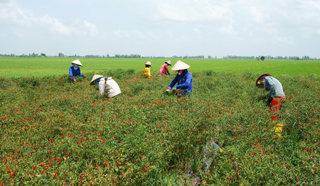 MEKONG DELTA, VIETNAM- JULY 20  Farmer working on capsicum garden, green field under cloud sky, woman pick fruit from plant, chilli pepper is kind of spice in organic food, Viet Nam, July 20, 2014 Editorial