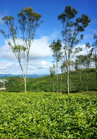 cau: Beautiful landscape of nature in wind day, vast tea plantation in green color, group of tree on farm, nice Vietnam country for travel in spring, Cau Dat have many tea hill of Dalat