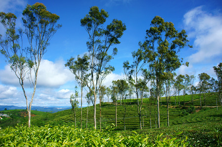 dat: Beautiful landscape of nature in wind day, vast tea plantation in green color, group of tree on farm, nice Vietnam country for travel in spring, Cau Dat have many tea hill of Dalat