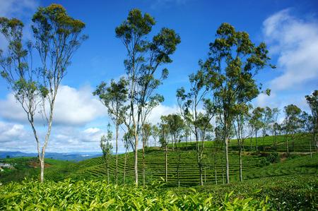 dat: Bellissimo paesaggio della natura nel giorno di vento, vasta piantagione di t� in colore verde, gruppo di albero in azienda agricola, piacevole paese Vietnam per i viaggi in primavera, Cau Dat hanno molti t� collina di Dalat