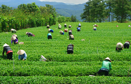 dat: DALAT, VIETNAM- SEPT 3: Crowd of tea picker picking tea leaf on plantation, Vietnamese farmer  working on sunny day, green scene of farm, group worker, row of tree, mountain, Viet Nam, Sept 3, 2014