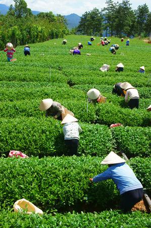 cau: DALAT, VIETNAM- SEPT 3: Crowd of tea picker picking tea leaf on plantation, Vietnamese farmer  working on sunny day, green scene of farm, group worker, row of tree, mountain, Viet Nam, Sept 3, 2014