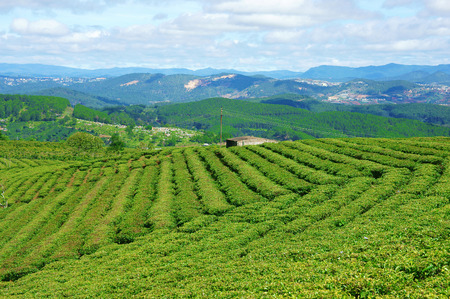 Impressive landscape at Dalat, Vietnam in sunny day, amazing cloudy sky, chain of mountain far away, tea tree in row, line, beautiful tea plantation, wonderful country view for Da Lat travel photo
