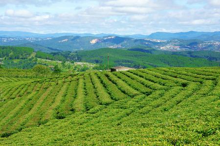 cau: Impressive landscape at Dalat, Vietnam in sunny day, amazing cloudy sky, chain of mountain far away, tea tree in row, line, beautiful tea plantation, wonderful country view for Da Lat travel Stock Photo