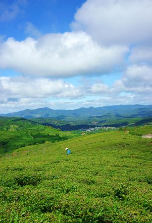 cau: Impressive landscape at Dalat, Vietnam in sunny day, amazing cloudy sky, chain of mountain far away, people on farm, beautiful tea plantation, wonderful country view for Da Lat travel