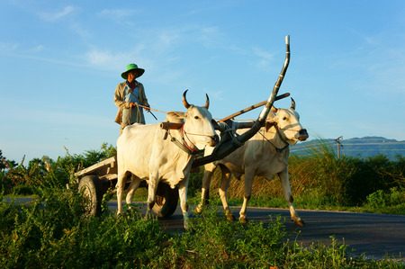 cart road: CHAU DOC, VIET NAM- SEP 20: Amazing landscape of Vietnamese rural in morning,  ride wagon move on country road, beautiful white couple cow pull cart  with Asian man standing on, Vietnam, Sept 20, 2014