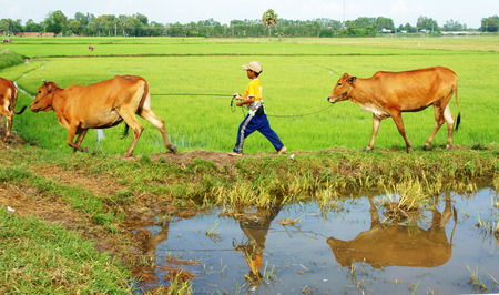 MEKONG DELTA, VIET NAM- SEPT 20: Unodentified Asian child labor tend cow on rice plantation, ox, boy reflect on water, children work at Vietnamese poor countryside, Vietnam, Sept 20, 2014