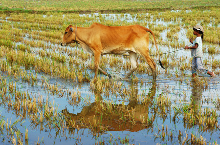 MEKONG DELTA, VIET NAM- SEPT 20: Unodentified Asian child labor tend cow on rice plantation, ox, girl reflect on water, children work at Vietnamese poor countryside, Vietnam, Sept 20, 2014