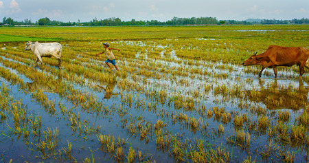 mekong: MEKONG DELTA, VIET NAM- SEPT 20: Unodentified Asian child labor tend cow on rice plantation, ox, boy reflect on water, children work at Vietnamese poor countryside, Vietnam, Sept 20, 2014