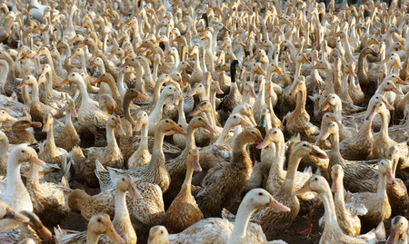 domestic animal: Flock of white duck, Mekong Delta, Vietnam has many domestic animal, livestock, grazing at field