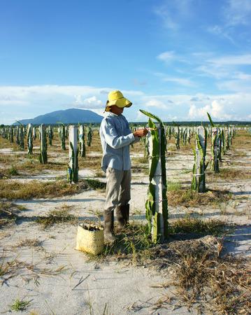 BINH THUAN, VIET NAM- OCT 25: Asian farmer working on agriculture farm, Vietnamese man care dragon fruit tree, a fruit on sandy soil, special plant of Binhthuan countryside, Vietnam, Oct 25, 2014