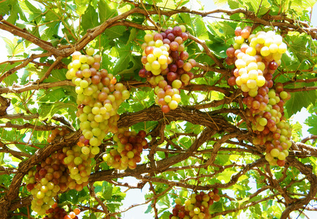 rang: Agriculture product at Phan Rang vineyard, Vietnam, vine plant with bunch of ripe red grape, green leaf in garden, this fruit very nutrition, rich vintamin, healthy and is raw to make wine