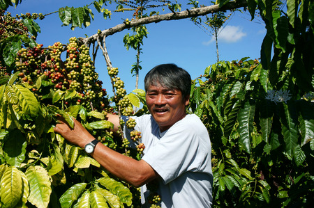 Asian farmer happy with productivity crop, Vietnamese man stand at coffee bean plantation, cafe is the plant that rich caffeine, popular agriculture product at basalt soil highland in Vietnam