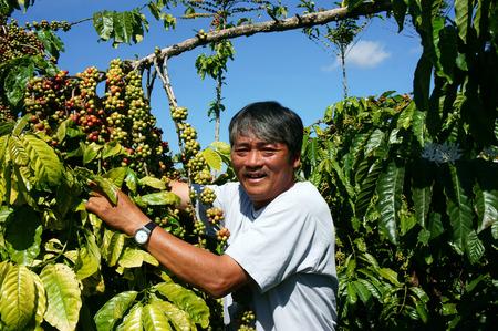 Aziatische landbouwer blij met gewasproductiviteit, Vietnamese man staan bij koffieboon plantage, cafe is de plant die rijk is cafeïne, populair landbouw product op basalt bodem hoogland in Vietnam Redactioneel