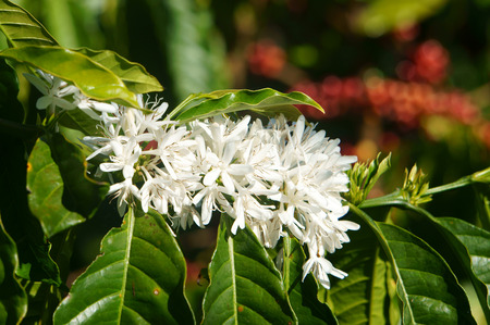 Coffee tree with white coffee flower on cafe plantation, cafe is main plant at basalt soil like Bao Loc, Lam Dong, Viet Nam, and coffee is Vietnam agriculture product to export Archivio Fotografico