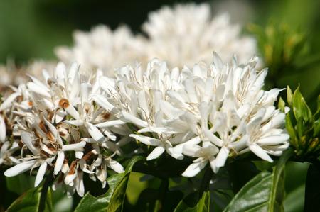 arbol de cafe: �rbol de caf� con la flor blanca del caf� en la plantaci�n de caf�, el caf� es la principal planta en suelo de basalto como Bao Loc, Lam Dong, Viet Nam, y el caf� es Vietnam producto agr�cola de exportaci�n