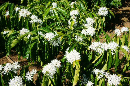 Coffee tree with white coffee flower on cafe plantation, cafe is main plant at basalt soil like Bao Loc, Lam Dong, Viet Nam, and coffee is Vietnam agriculture product to export Stock Photo
