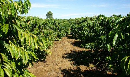 coffee coffee plant: Coffee tree with coffee bean on cafe plantation, cafe is main plant at basalt soil like Bao Loc, Lam Dong, Viet Nam, and coffee is Vietnam agriculture product to export Stock Photo