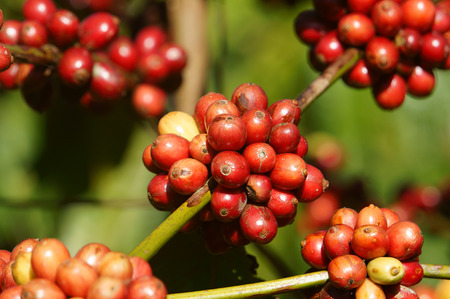 coffee tree: Coffee tree with coffee bean on cafe plantation, cafe is main plant at basalt soil like Bao Loc, Lam Dong, Viet Nam, and coffee is Vietnam agriculture product to export Stock Photo