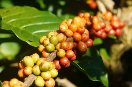 arbol de cafe: �rbol de caf� con el grano de caf� en la plantaci�n de caf�, el caf� es la principal planta en suelo de basalto como Bao Loc, Lam Dong, Viet Nam, y el caf� es Vietnam producto agr�cola de exportaci�n