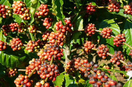Coffee tree with coffee bean on cafe plantation, cafe is main plant at basalt soil like Bao Loc, Lam Dong, Viet Nam, and coffee is Vietnam agriculture product to export Imagens