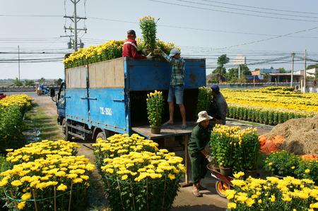 BA RIA, VIET NAM 11 de febrero: Flor del resorte por Vietnam Tet, agricultor asiática que trabaja en el campo de la agricultura al agua para la planta, la gente cosecha flor amarilla, transporte al mercado en camiones, Vietnam, 11 de febrero 2015 Editorial