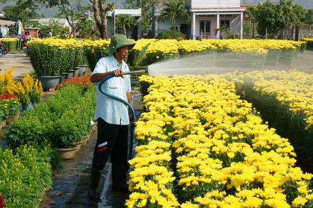 BA RIA, VIET NAM- FEB 11: Spring flower for Vietnam Tet, Asian farmer working on agriculture field to water for plant, people harvest yellow flower, transport to market by truck, Vietnam, Feb 11, 2015 Editorial