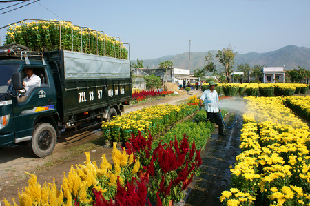 BA RIA, VIET NAM 11 de febrero: Flor del resorte por Vietnam Tet, agricultor asiática que trabaja en el campo de la agricultura al agua para la planta, la gente cosecha flor amarilla, transporte al mercado en camiones, Vietnam, 11 de febrero 2015