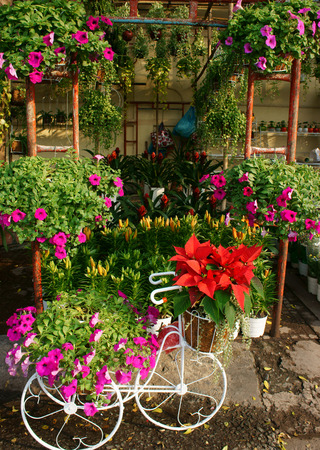 flower market: spring flowers, flower pot to decorate in home on Vietnam Tet holiday with vibrant color, colorful blossom show at Vietnam flower market