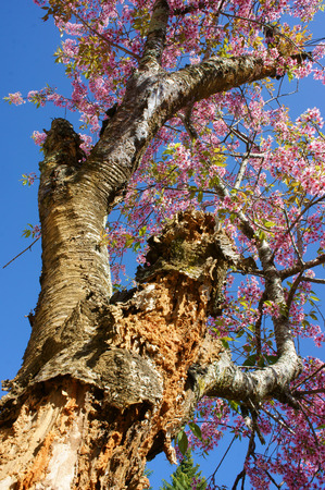 dalat: Spring flower, beautiful nature with sakura bloom in vibrant pink, cherry blossom is special of Dalat, Vietnam, blossom in springtime, amazing old tree, nice view, up to sky make abstract background