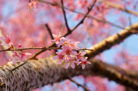 impressive: Spring flower, beautiful nature with sakura bloom in vibrant pink, cherry blossom is special of Dalat, Vietnam, blossom in springtime, amazing old tree, nice view, up to sky make abstract background