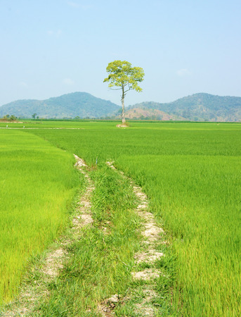 buon: Beautiful agriculture field at Buon Me Thuot, Daklak, Vietnam, tree on green paddy field, eco place for Viet Nam travel, vast landscape under sky