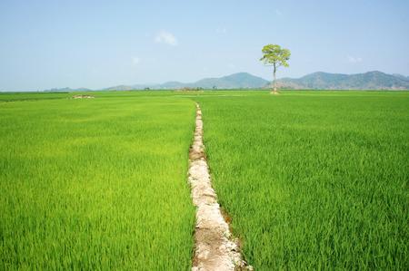 vast: Beautiful agriculture field at Buon Me Thuot, Daklak, Vietnam, tree on green paddy field, eco place for Viet Nam travel, vast landscape under sky