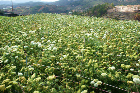 carot: Asia agriculture field, carrot flower in green with ca rot flower bloom in white, seed from this flora for next crop, beautiful scene and close up of blossom make fresh air