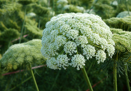 Asia agriculture field, carrot flower in green with ca rot flower bloom in white, seed from this flora for next crop, beautiful scene and close up of blossom make fresh air
