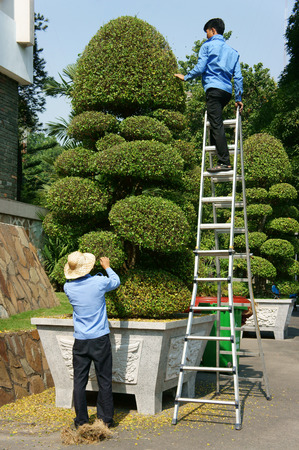 bonsai tree: HO CHI MINH CITY, VIET NAM- FEB 9: Two Asian man climbing and working on staircase to care decorative plant, Vietnamese worker cut to pruning for bonsai tree, Vietnam, Feb 9, 2015 Editorial