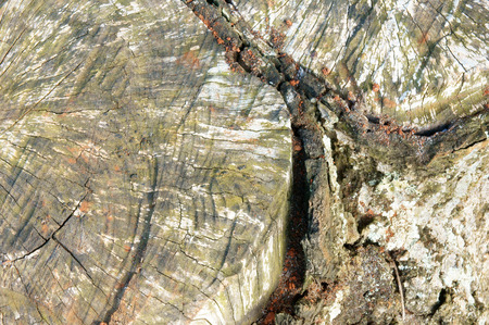 Amazing pattern of mushroom on peel of tree trunk at forest, floral parasite on bark surface make rough surface, texture from white fungus so abstract photo