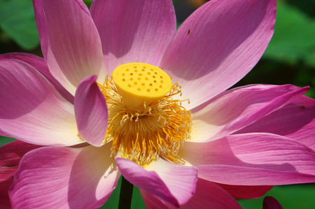 Close up of lotus flower in spring, vibrant pink petal with green lotus leaf make beautiful, abstract background photo