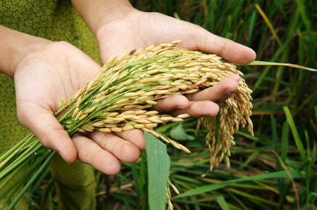 famine: World food security, a global problem, famine at africa, children need to help, poor people need food to live, kid hand with sheaf of paddy on Asia rice field Stock Photo