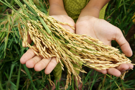 world security: World food security, a global problem, famine at africa, children need to help, poor people need food to live, kid hand with sheaf of paddy on Asia rice field Stock Photo