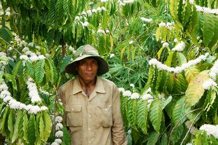 arbol de cafe: DAK LAK, VIET NAM 24 de febrero: Asia cafeto cuidado agricultor en la plantaci�n de caf�, floraci�n campo en flor del caf� con leche, caf� es producto de la agricultura populares en suelo de basalto, Daklak, Vietnam, 24 de febrero 2015