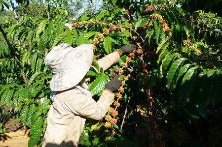 planta de cafe: Asia cultivos productividad cosecha granjero, mujer vietnamita recoger grano de café en la plantación, cafetería es la planta que rica la cafeína, el producto agrícola popular en el suelo de basalto de la montaña en Vietnam