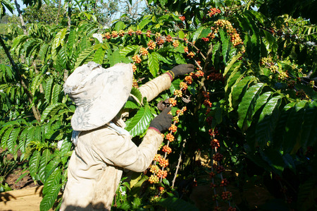 Asian farmer harvest productivity crop, Vietnamese woman pick coffee bean at plantation, cafe is the plant that rich caffeine, popular agriculture product at basalt soil highland in Vietnam