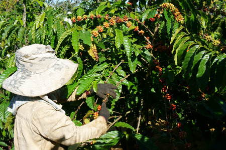 coffee harvest: Asian farmer harvest productivity crop, Vietnamese woman pick coffee bean at plantation, cafe is the plant that rich caffeine, popular agriculture product at basalt soil highland in Vietnam