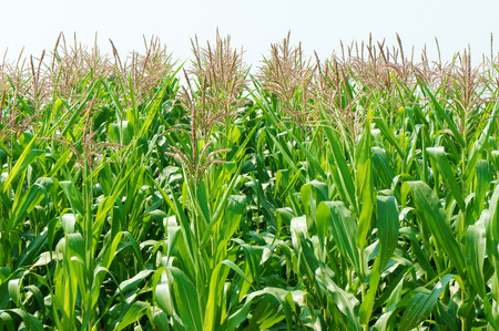vast: Viietnamese agricultural field at Daklak, Vietnam, vast maize field intercrop with paddy plant, good crop on plantation